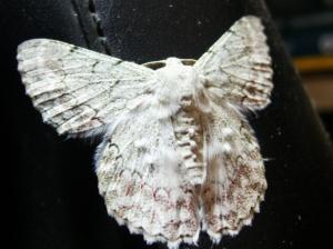 bride moth